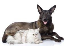 Chien mélangé de race et chat persan ensemble Photographie stock