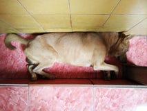 Chien maigre indigène thaïlandais dormant en bas plancher photos stock