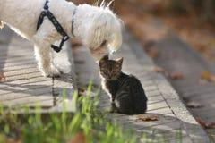 Chien maltais embrassant le petit chaton de chat dans la tête Photos libres de droits