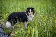 Chien marchant dans l'herbe photo libre de droits