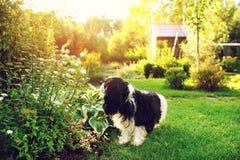 Chien marchant dans le jardin privé d'été dans le style anglais de cottage photo stock