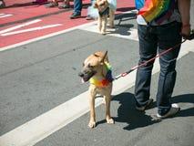 Chien marchant dans le San 2017 Francisco Gay Pride Parade photos libres de droits