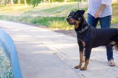 Chien marchant en parc avec le propriétaire Image stock