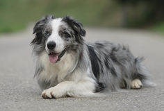 Chien masculin de border collie Photo stock