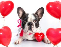 Chien mignon avec des ballons de forme de coeur Images stock