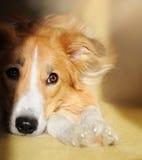 Rêver mignon de border collie de chien Images libres de droits
