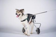 Chien mignon dans le fauteuil roulant Image libre de droits