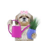 Chien mignon de fille de jardinier avec la fleur et la boîte d'arrosage d'isolement sur le blanc photo stock