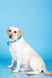 Chien mignon de Labrador dans le studio Photographie stock