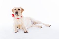 Chien mignon de Labrador dans le studio Photo libre de droits