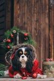 Chien mignon de Noël avec des cadeaux et des décorations sur le fond en bois rustique Images stock