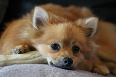 Chien mignon de Pomeranian Images stock