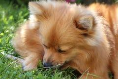Chien mignon de Pomeranian Images libres de droits