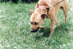 Chien mignon de recherche reniflant l'herbe en parc, chien triste sur une prairie photo libre de droits