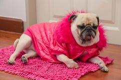 Chien mignon de roquet avec le repos de sommeil de laine de robe de rose de mode sur le plancher Photos stock