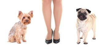 Chien mignon de roquet, terrier de Yorkshire et jambes femelles Photos stock