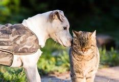 Chien mignon de Russel de cric et meilleurs amis domestiques de chaton Photo libre de droits