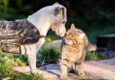 Chien mignon de Russel de cric et meilleurs amis domestiques de chaton Photographie stock libre de droits