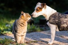 Chien mignon de Russel de cric et meilleurs amis domestiques de chaton Photo stock