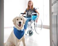 Chien mignon de service et fille brouillée dans le fauteuil roulant Photographie stock