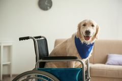 Chien mignon de service se reposant dans le fauteuil roulant Image libre de droits