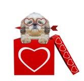 Chien mignon de shitzu avec la flèche se reposant dans la boîte de valentines D'isolement sur le blanc Photographie stock