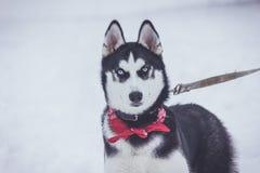 Chien mignon hasky en hiver image libre de droits
