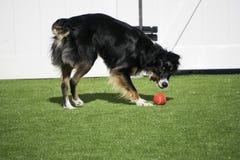 Chien mignon jouant la boule dehors dans l'arrière-cour Photographie stock libre de droits