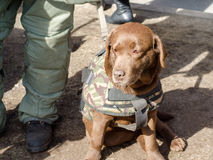 Chien militaire pour le déminage des bombes dans un uniforme images stock