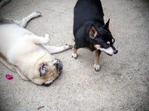 Chien miniature de pincher jouant avec un gros ami blanc mignon de chien de roquet Photos stock