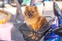 Chien minuscule brun mignon de Pomeranian souriant sur le panier de moto photo stock