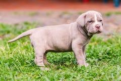 Chien napolitain de mastiff avec les yeux bleus puissants Photographie stock