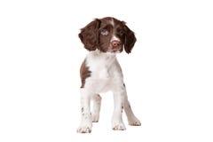 Chien néerlandais de partrige, chiot de hond de patrijs de Drentse Image libre de droits