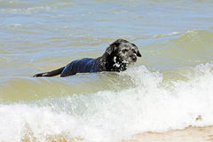 Chien noir dans l'eau Photo libre de droits