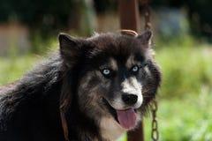 Chien noir de chien de traîneau sibérien Photographie stock libre de droits