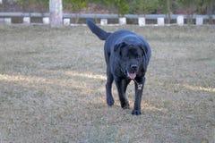 Chien noir de Labrador marchant sur la terre, herbe verte image stock