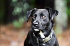 Chien noir de race mélangé par Labrador Photographie stock libre de droits