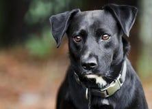 Chien noir de race mélangé par Labrador photos stock