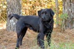 Chien noir de race mélangé par Newfie de chien d'arrêt Photo stock