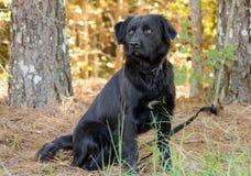 Chien noir de race mélangé par Newfie de chien d'arrêt Photos libres de droits