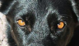 Chien noir de yeux ambres image libre de droits