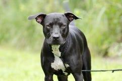 Chien noir et blanc de race mélangé par Pitbull Photos stock
