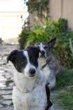 Chien noir et blanc de terrier Image libre de droits