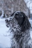 Chien noir et blanc mignon de poseur anglais jouant dans la neige photo libre de droits