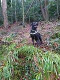 Chien noir Labrador marchant chez l'animal de forêt photo stock