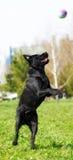 Chien noir labrador retriever jouant avec la boule en parc de ville Image stock