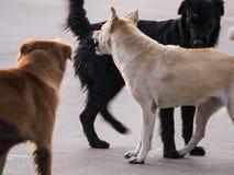Chien noir Prepare joignant au chien jaune Photos libres de droits