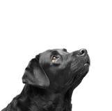 Chien noir supérieur de labrador retriever Images stock