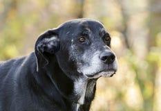 Chien noir supérieur de labrador retriever avec le museau gris Images stock