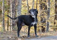 Chien noir supérieur de labrador retriever avec le museau gris Photographie stock libre de droits